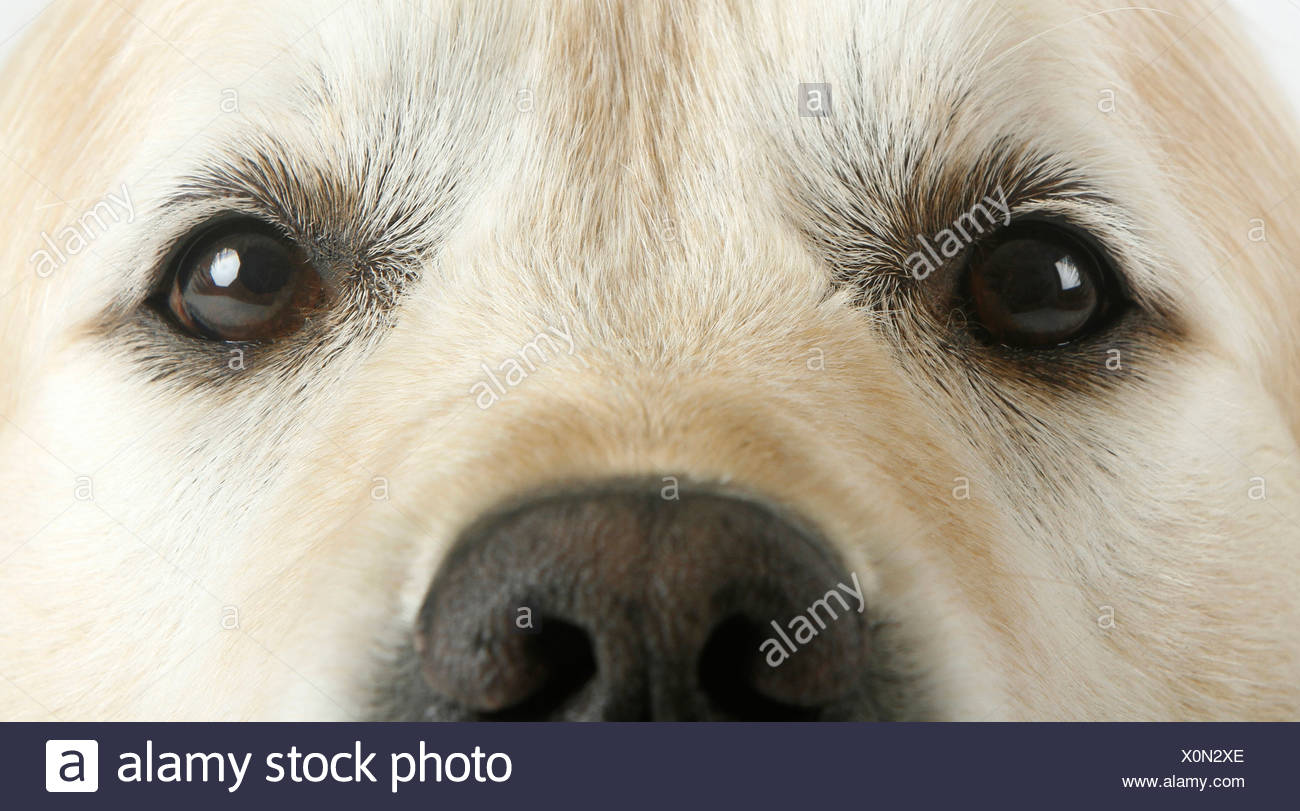 Golden Retriever Close Up Nose And Eyes Adult Stock Photo 275829190