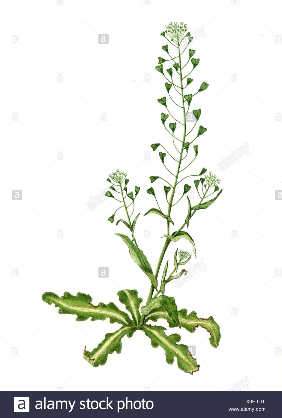 Bursae Pastoris Herba With Four Blossoms Stock Photo 275885284 Alamy