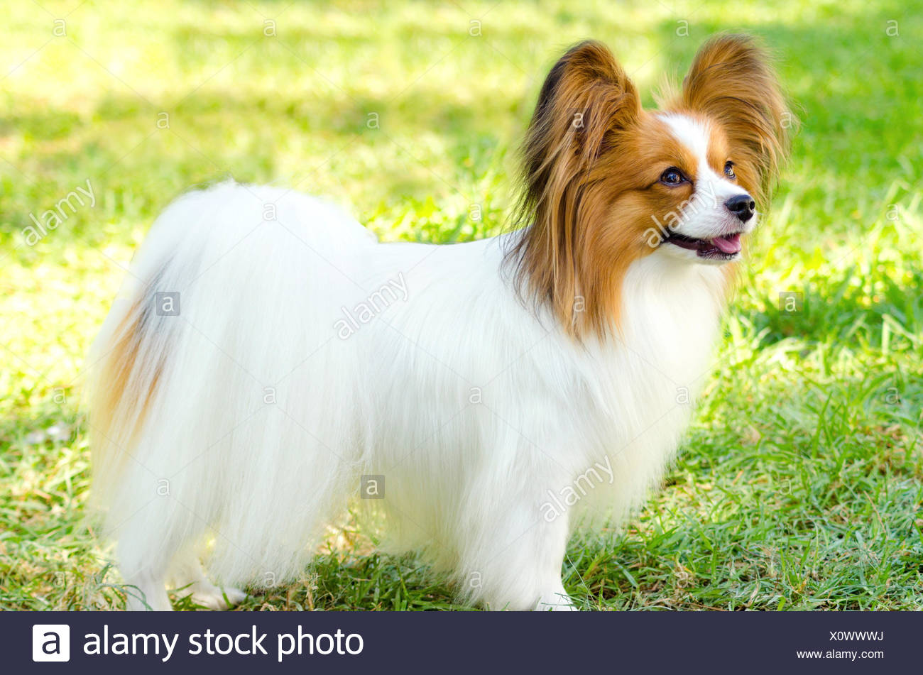A Small White And Red Papillon Dog Aka Continental Toy Spaniel