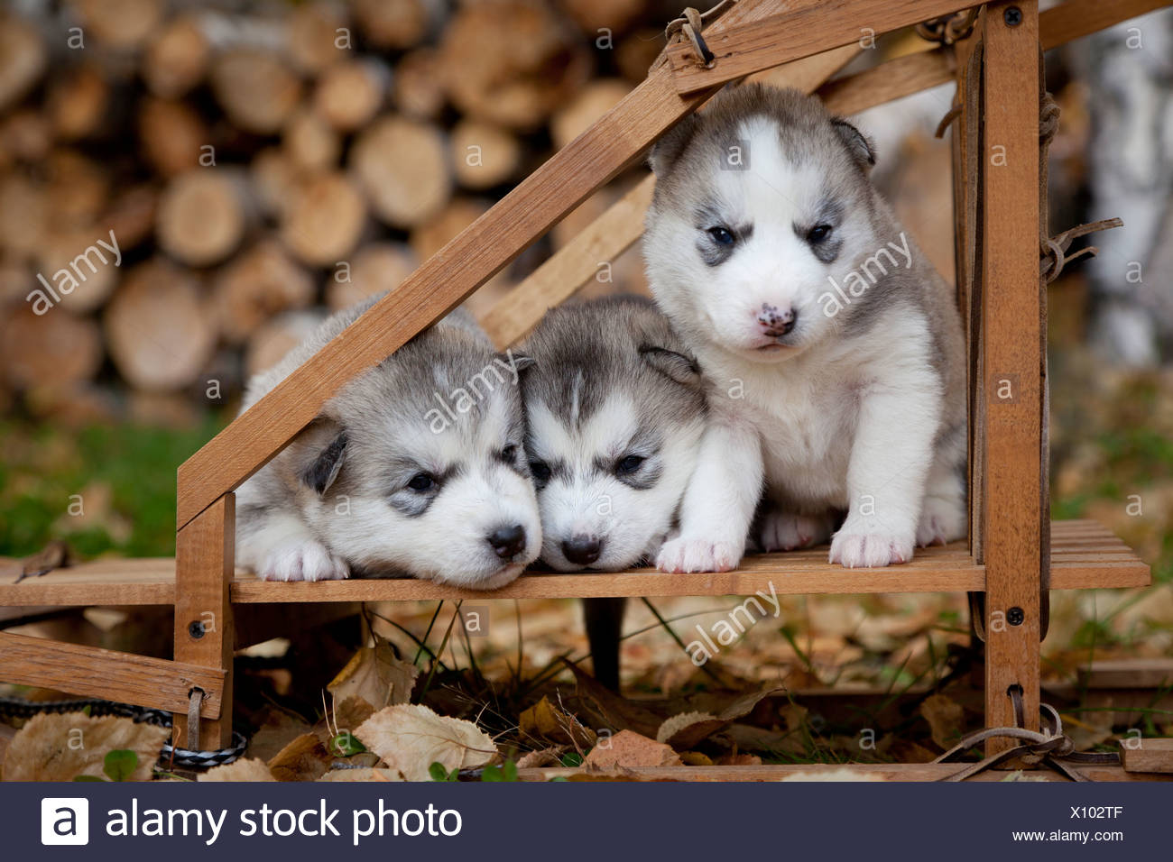 Pure Bred Siberian Husky Puppies In Small Wooden Dog Sled Alaska