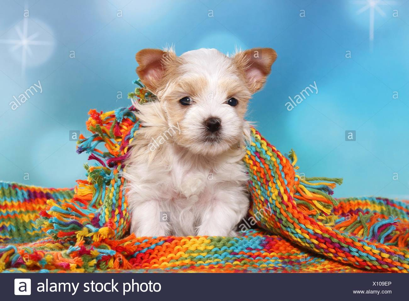 Sitting Golddust Yorkshire Terrier Puppy Stock Photo 275988014 Alamy