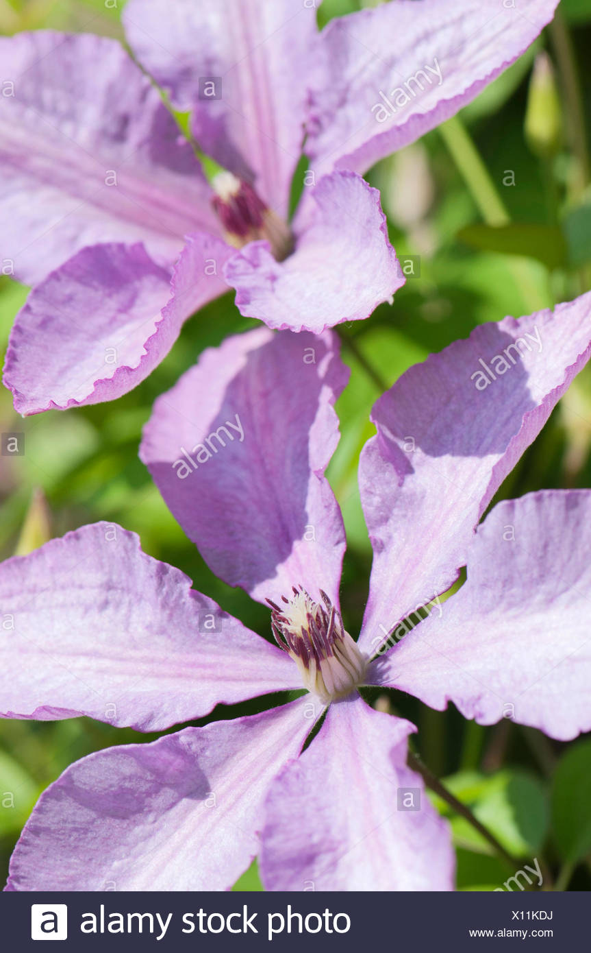 double flowering clematis stock photos double flowering. Black Bedroom Furniture Sets. Home Design Ideas