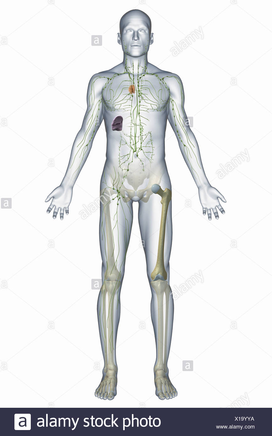 A Representation Human Immune System Including Lymphatic Vessels