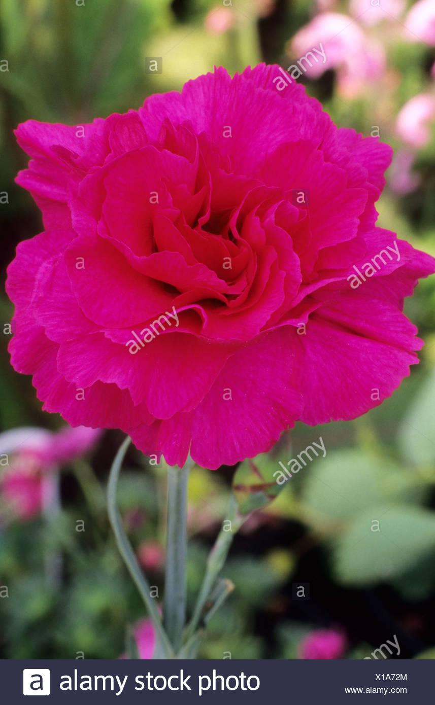 Dianthus Devon Wizard Pink Red Pink Flower Garden Plant Pinks