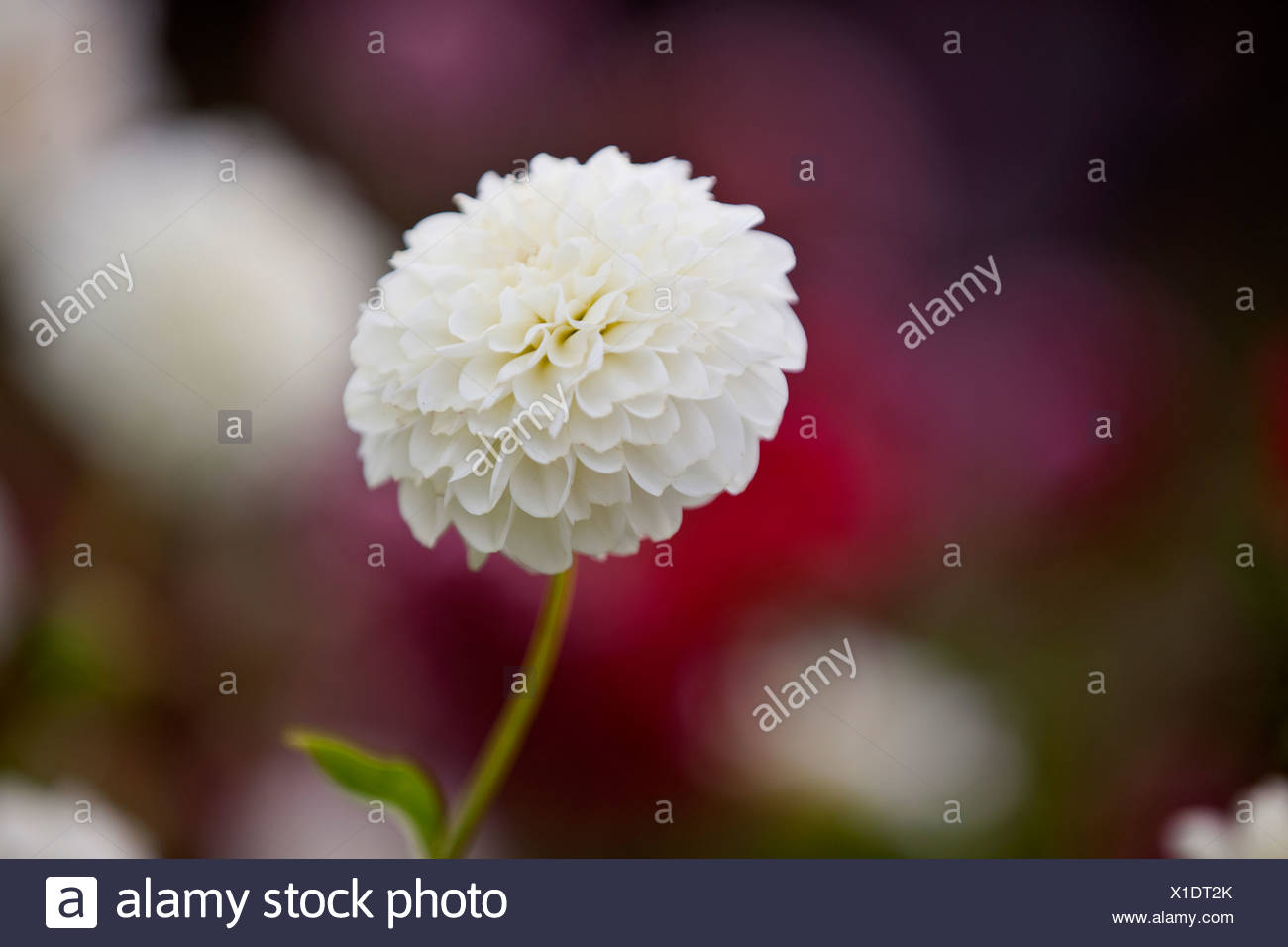A white dahlia flower in bloom stock photo 276284811 alamy a white dahlia flower in bloom izmirmasajfo