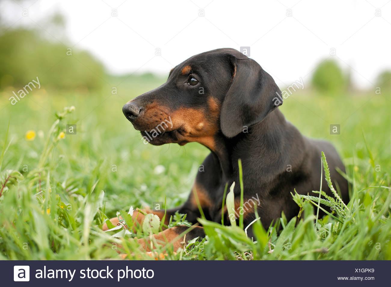 Doberman Pinscher Dog Puppy On Meadow Stock Photo 276349565 Alamy