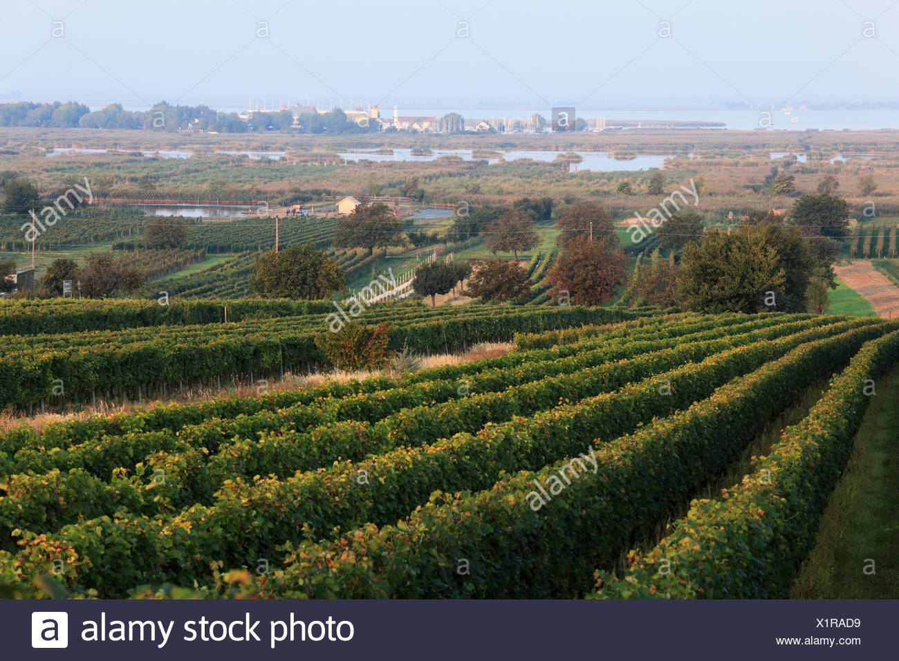 Vineyards On Lake Neusiedl Moerbisch Am See Burgenland Austria