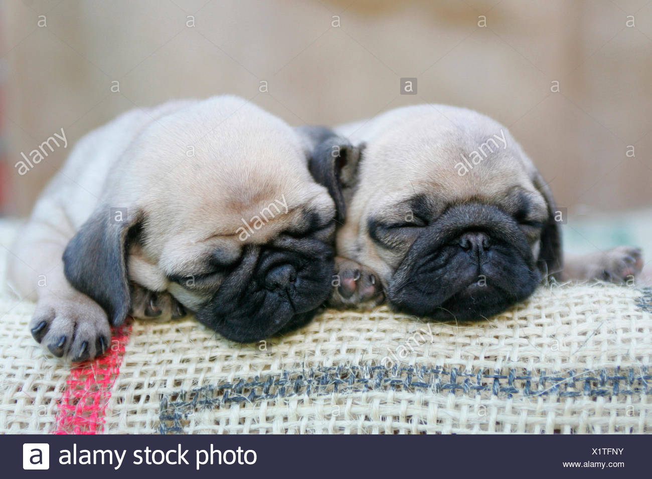 Pug Two Puppies Sleeping On A Sackcloth Germany Stock Photo
