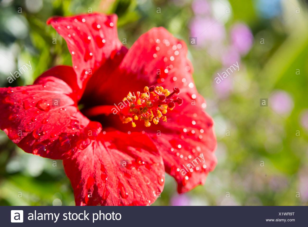 Hibiscus Flower With Water Drops After Rain Stock Photo 276547652