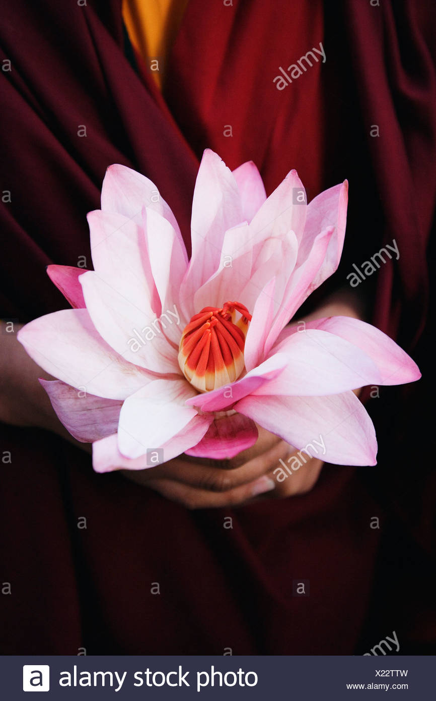 Close Up Of A Persons Hand Holding A Lotus Flower Stock Photo