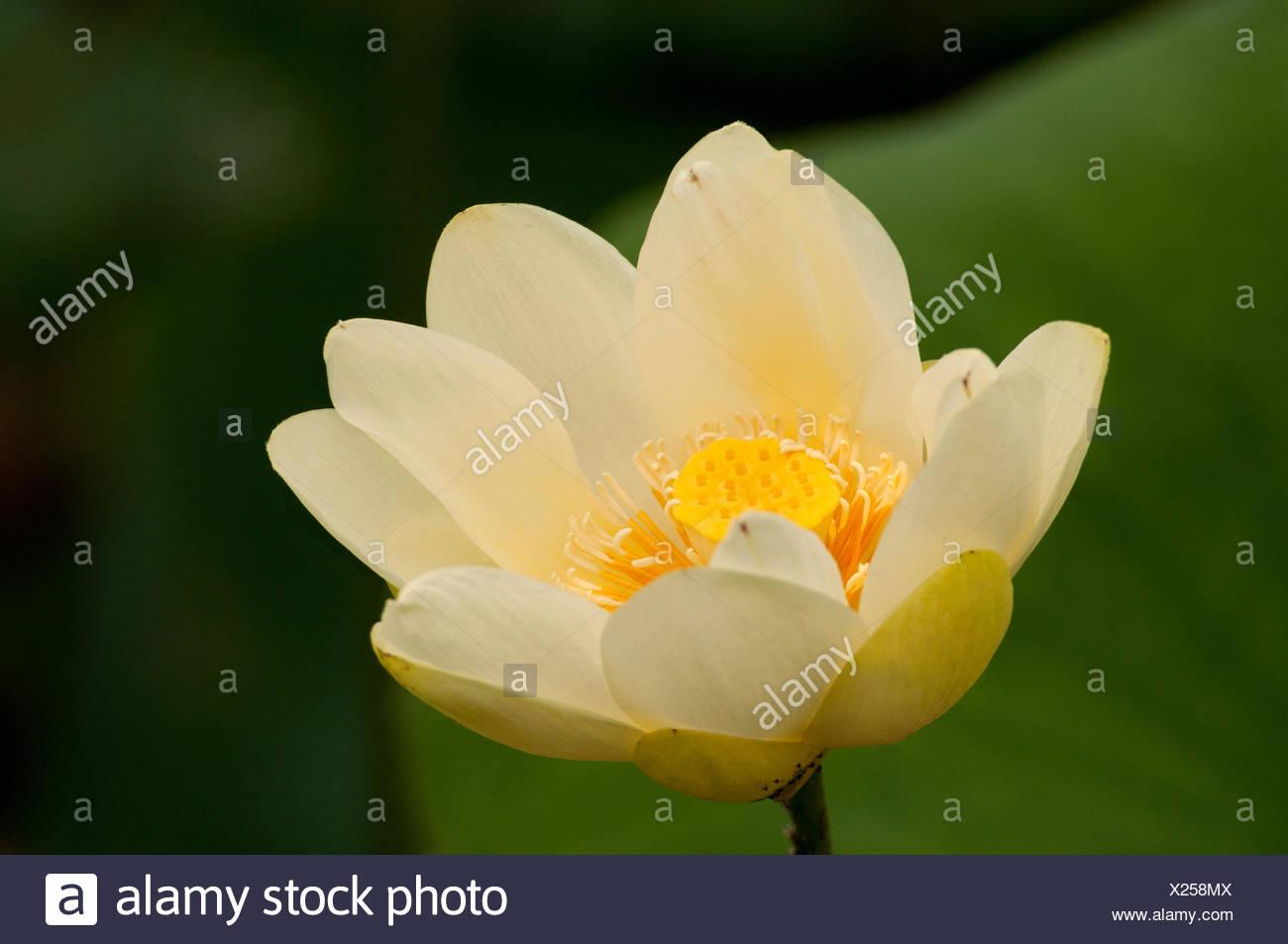 Close View Of A American Lotus Flower Nelumbo Lutea Stock Photo