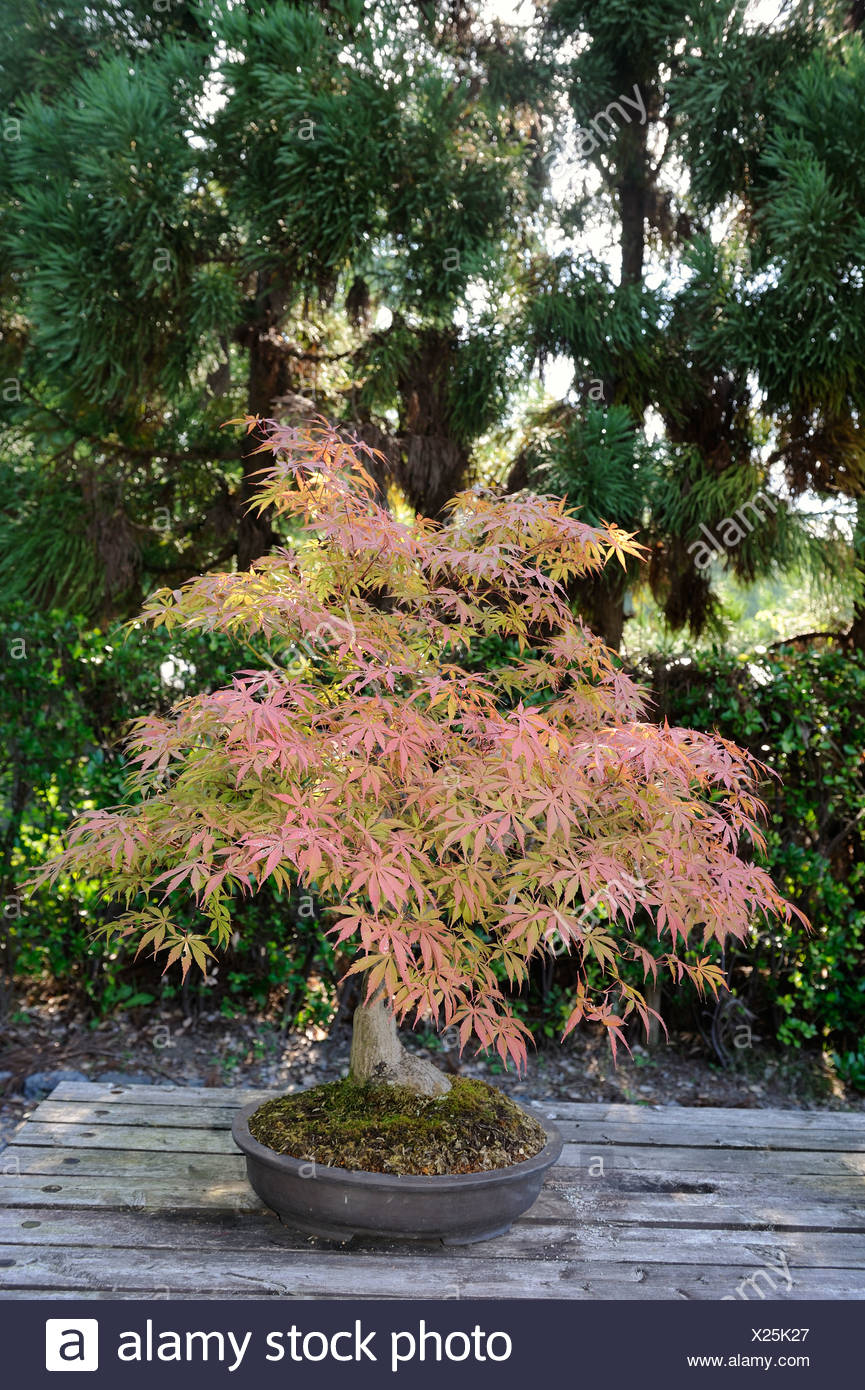 Maple (Acer) as bonsai in autumn colors in the Botanical Garden in ...