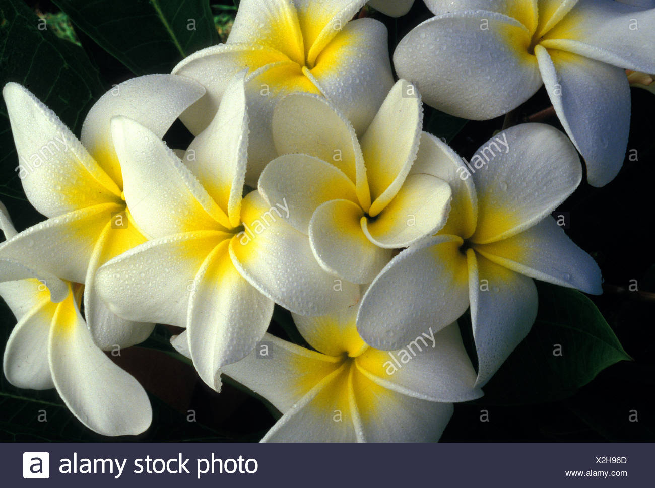 Lovely And Fragrant Plumeria Flowers Also Known As Frangipani