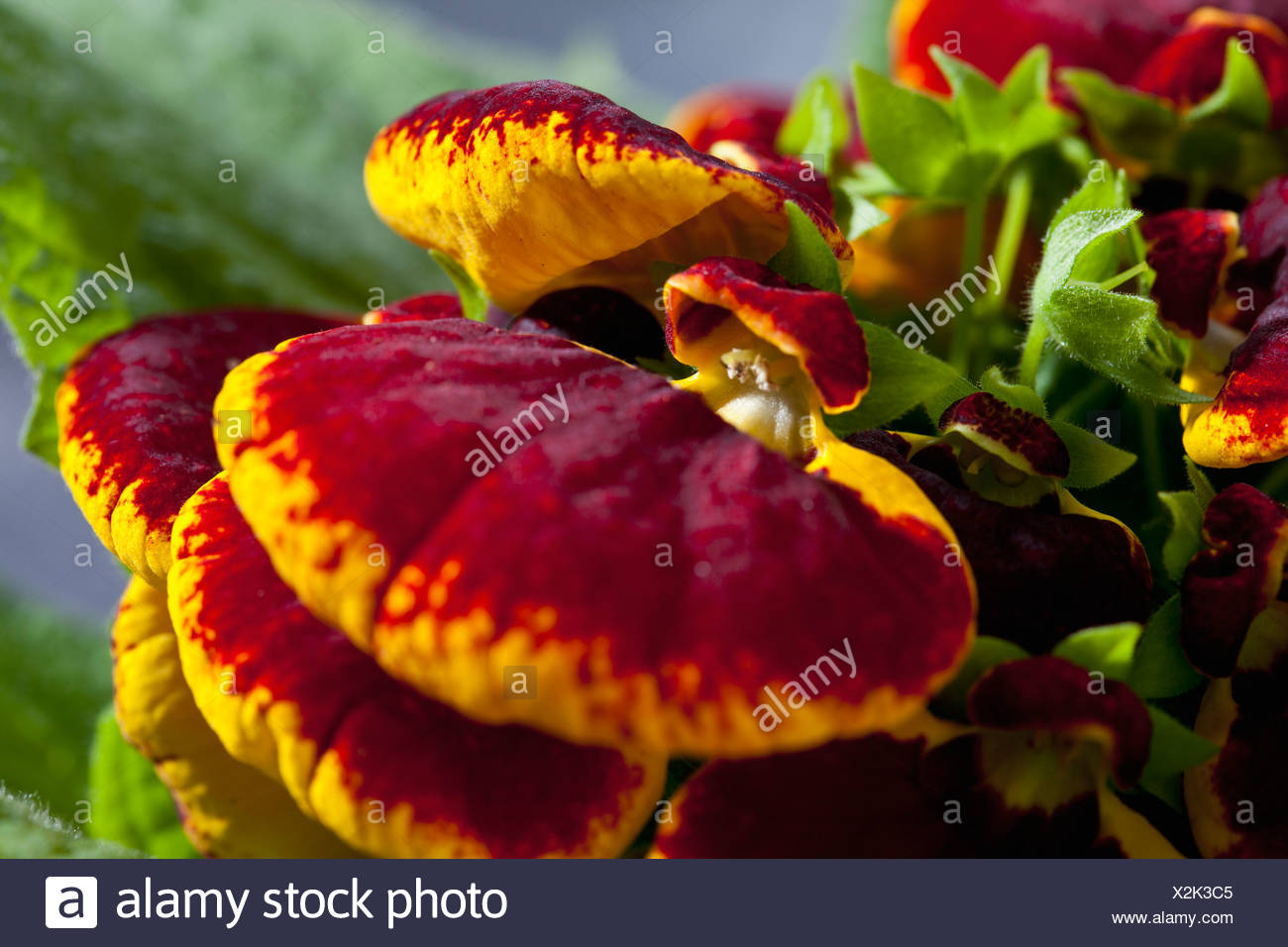 Red And Yellow Slipper Flowers Close Up Stock Photo 277014981 Alamy