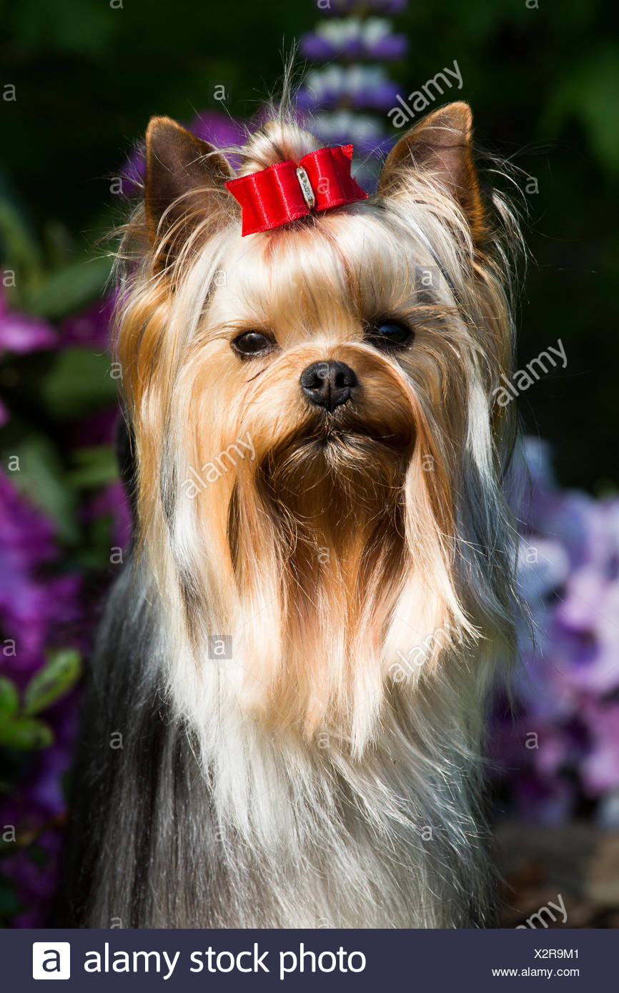 Yorkshire Terrier Dog With Long Hair In Show Condition Standing In