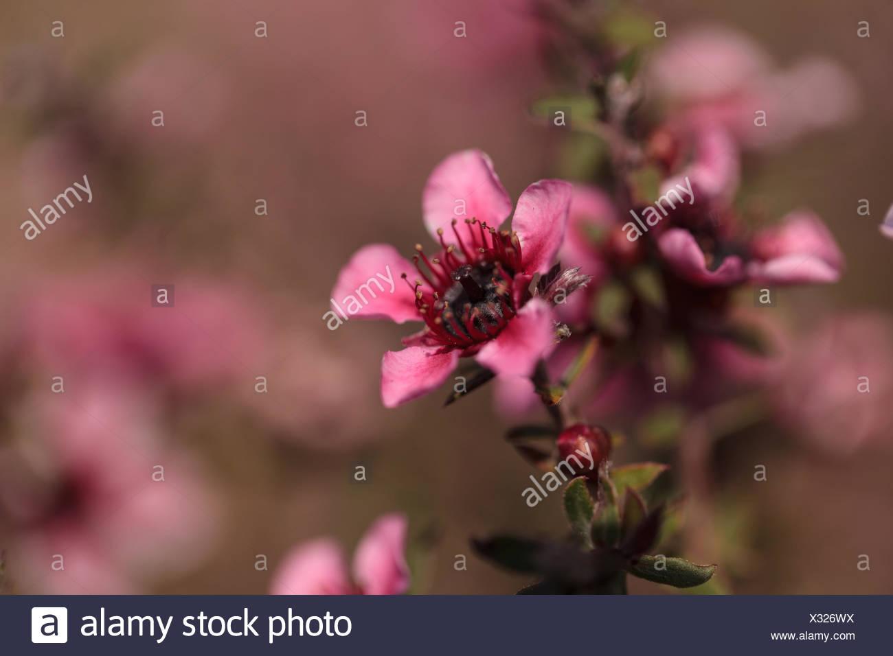 Tiny pink flowers on a leptospermum tea tree bush growing in a tiny pink flowers on a leptospermum tea tree bush growing in a botanical garden in summer mightylinksfo