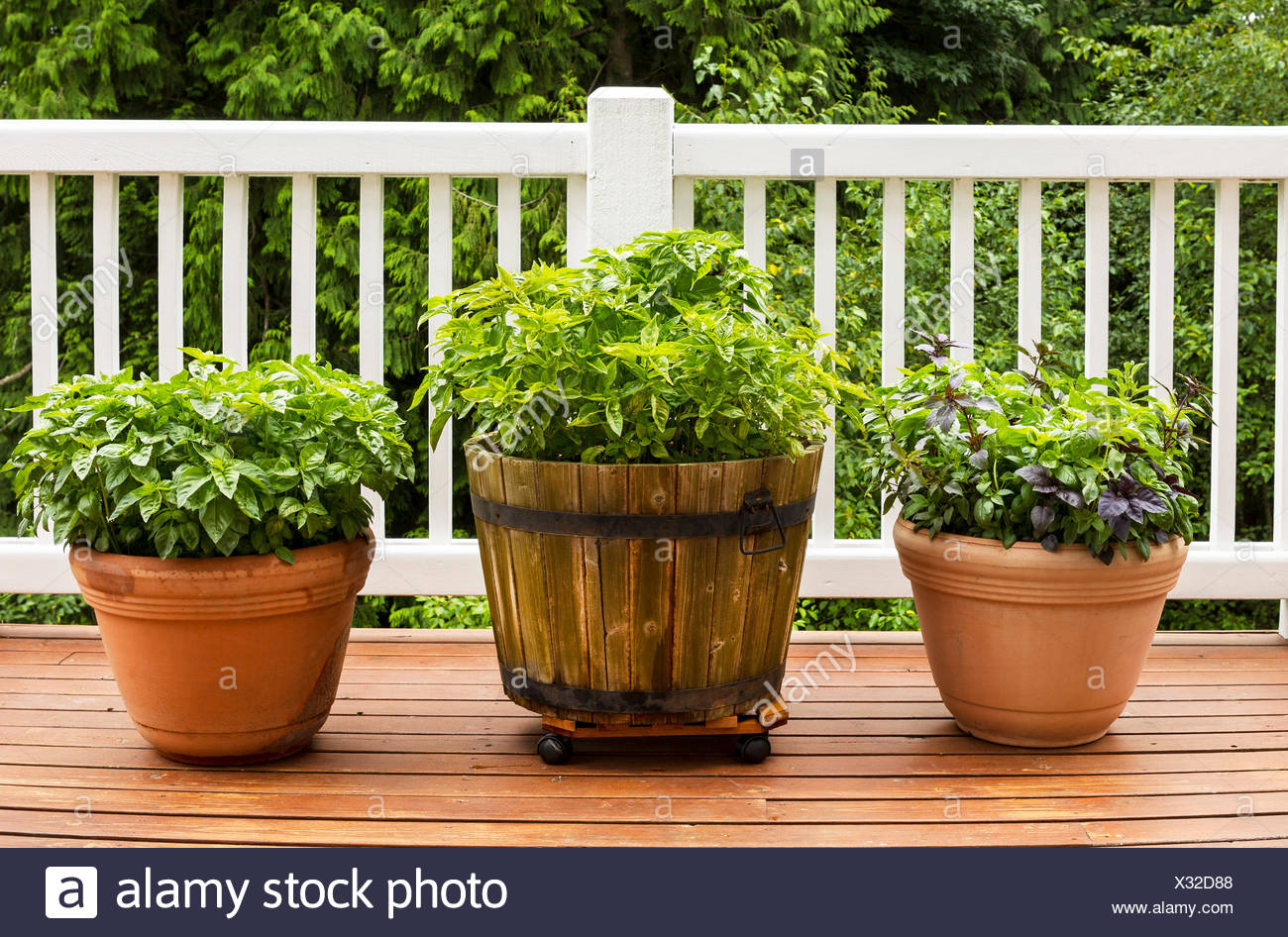 Horizontal Photo Of A Home Herb Garden Consisting Of Large Flat Leaf  Italian Basil Plants Growing In Pots On Cedar Deck With White Railings And  Trees In ...