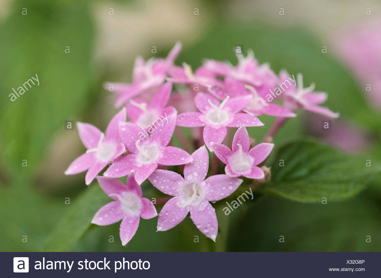 A Bunch Of Small Pink And White Flowers Pune Maharashtra India
