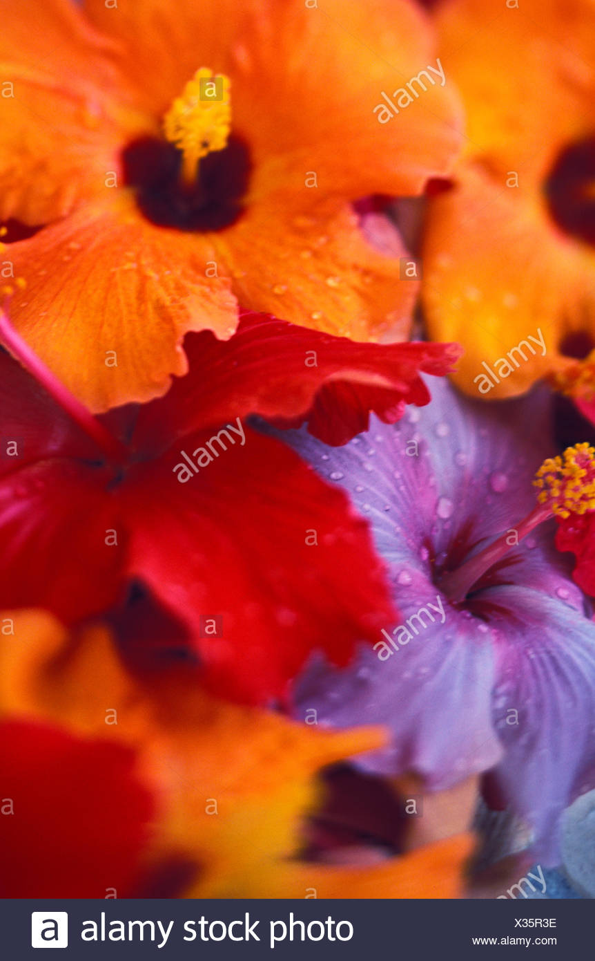 Tropical Blooming Hibiscus Flower Arrangement Close Up With