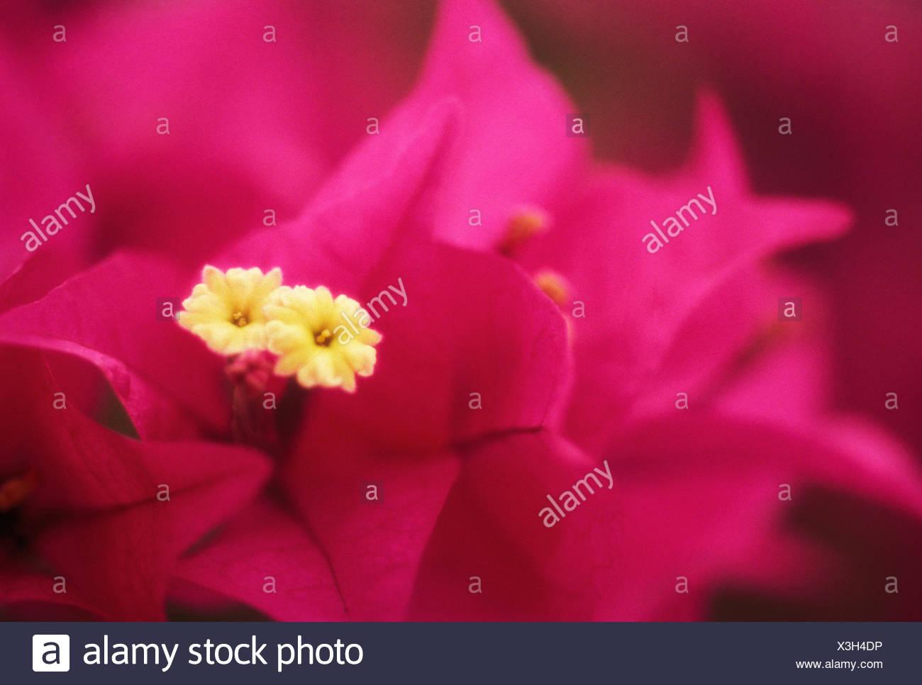 Hawaii maui wailea bougainvillea blossom on plant purple with hawaii maui wailea bougainvillea blossom on plant purple with small white flowers mightylinksfo
