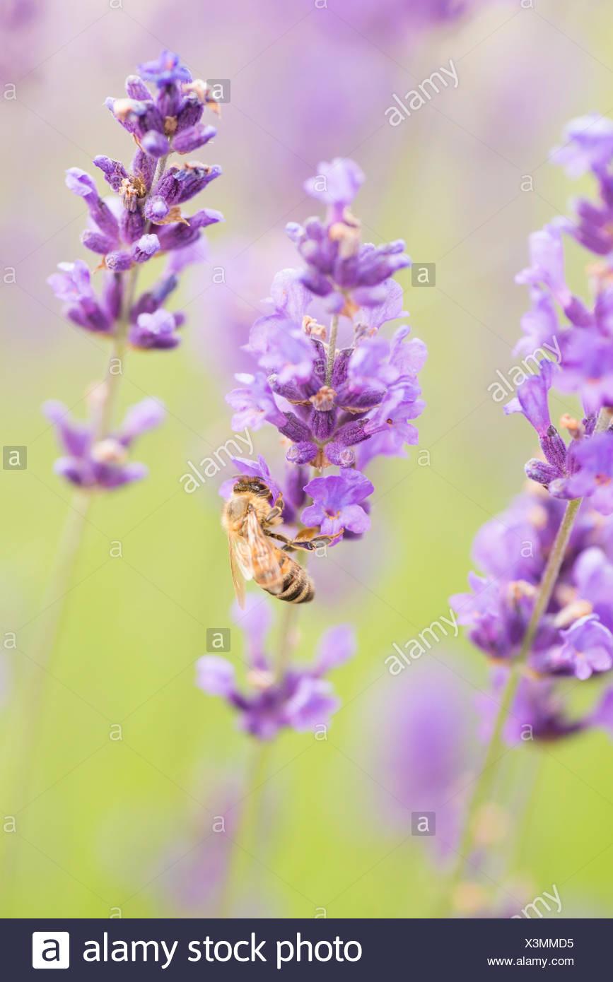 Bee (Apis sp.) pollinating Lavender flowers (Lavandula sp ... 6e8305843cd56