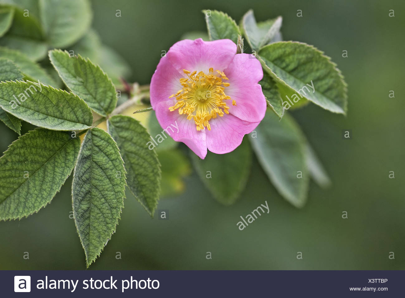 Cotswolds dog rose gloucestershire rosa vulgaris abundant colour cotswolds dog rose gloucestershire rosa vulgaris abundant colour flowers hedgerow hedgerows leaves petals pink rose family mightylinksfo