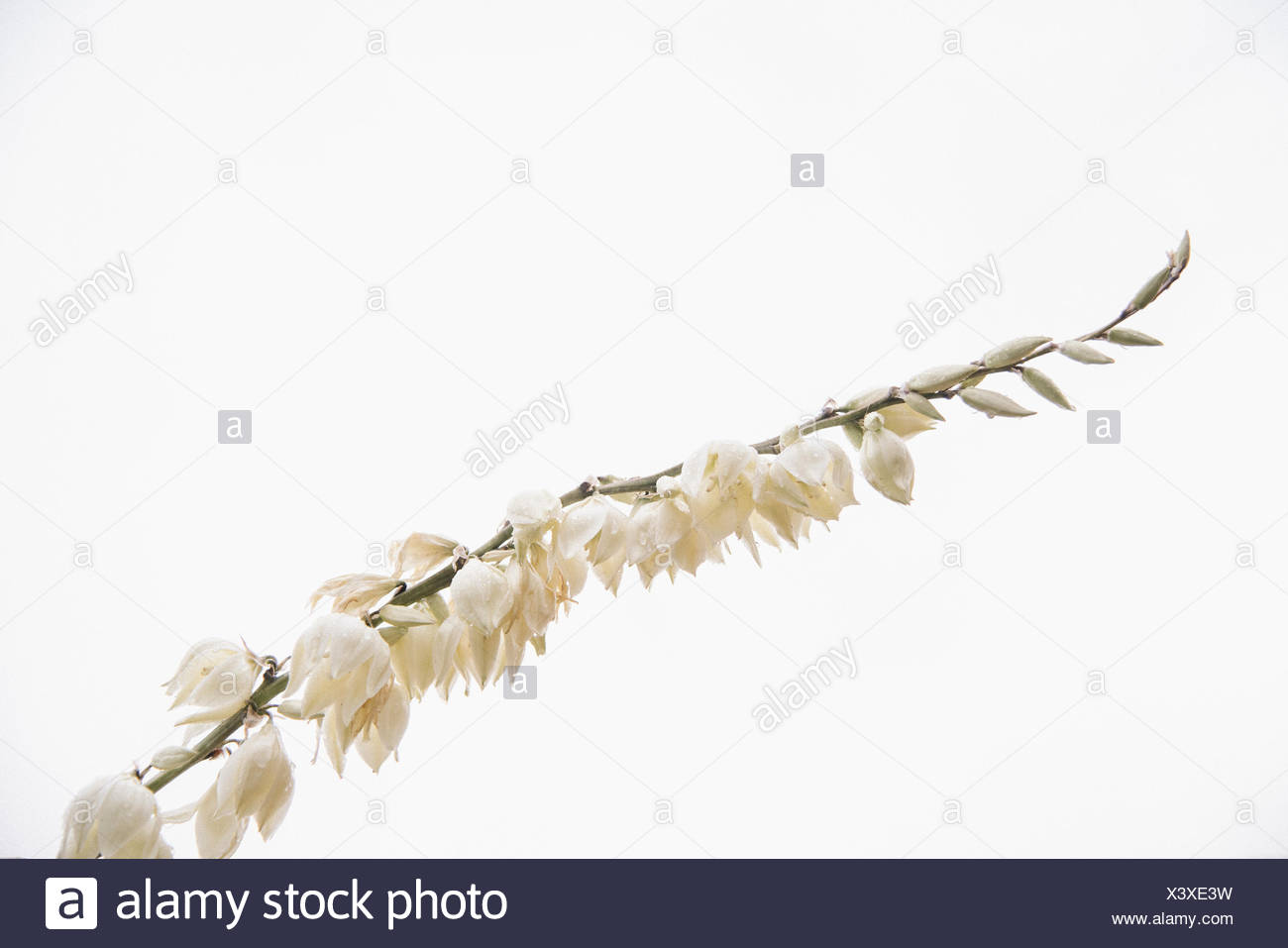A Yucca Plant Flowering Spike With Small Delicate White Flowers