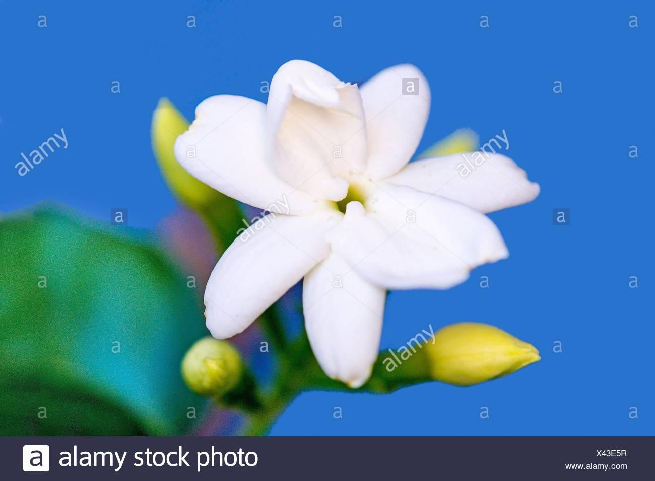Common Jasmine Flower Closeup In Germany Stock Photo 277901507