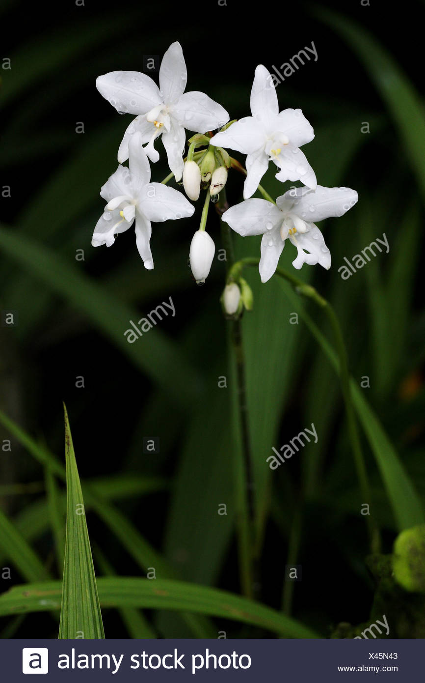 Orchid Flower White Color Wild Orchid Stock Photo 277950851 Alamy