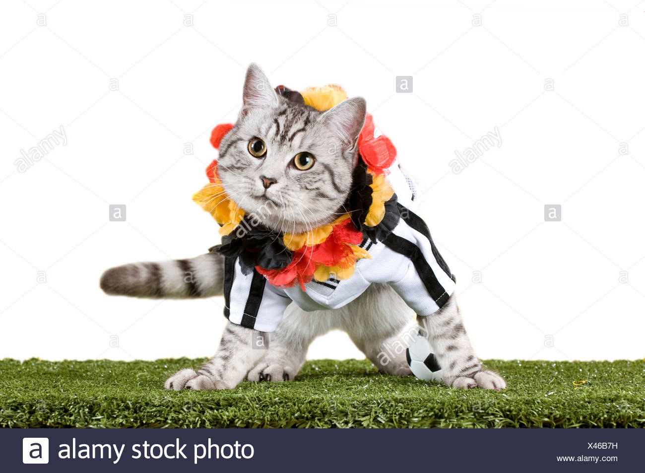 d5b97cde5 Domestic Cat. Tabby adult dressed in the jersey of the German National  Football Team with garland in the Germen national colours