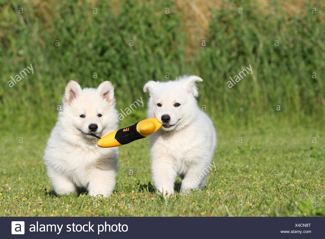 Berger Blanc Suisse Puppies Stock Photo 278104648 Alamy