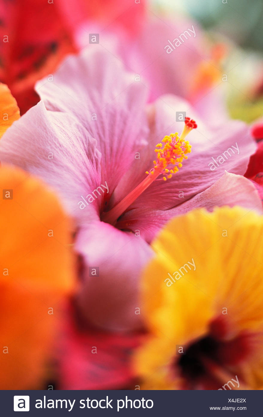 Hibiscus Flower Arrangement With Soft Focus Close Up Detail Subtle