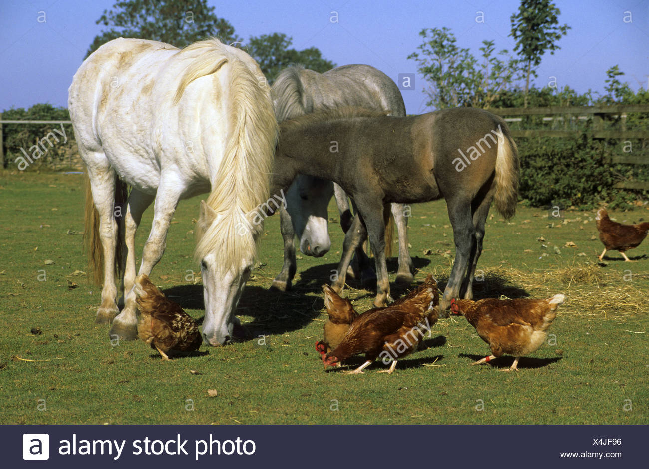 horse pony eriskay ponies and foal with free range hens in field