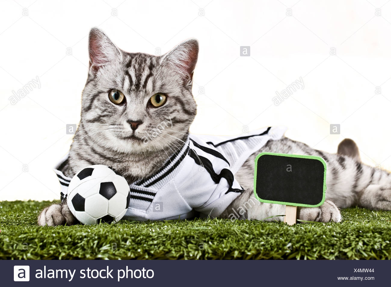 3fce223bf Domestic Cat. Tabby adult dressed in the jersey of the German National  Football Team with football and scoreboard