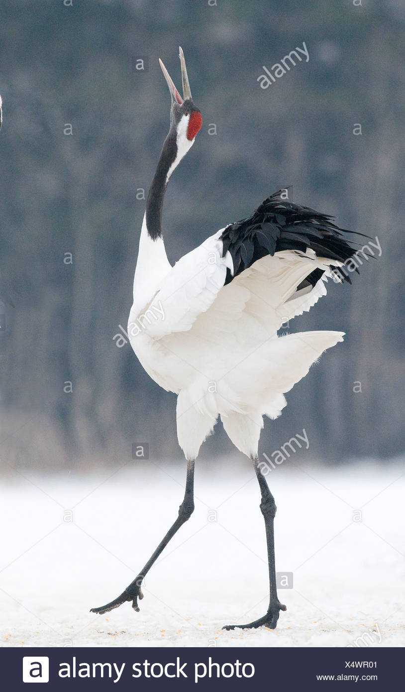 japanese red crowned crane grus japonensis akan hokkaido japan