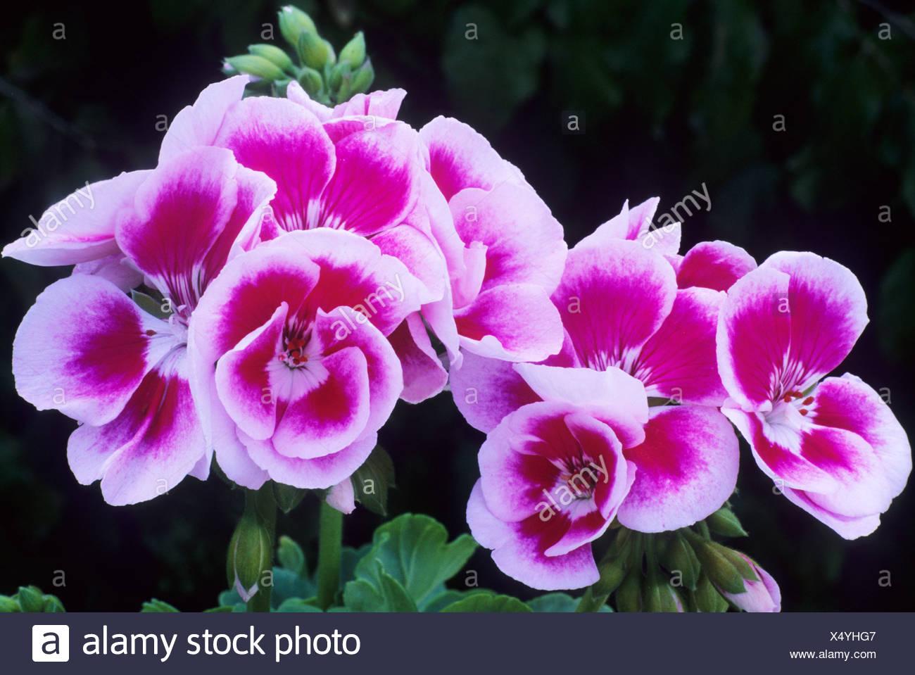 Pelargonium Flower Fairy White Splash Pink And White Flower