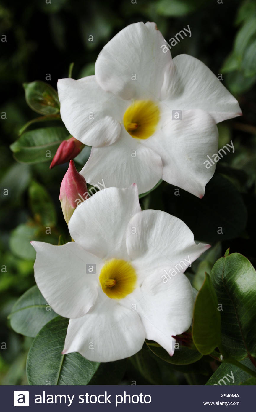Mandavilla Vine Gardenia Family White Flowers With Yellow Centers