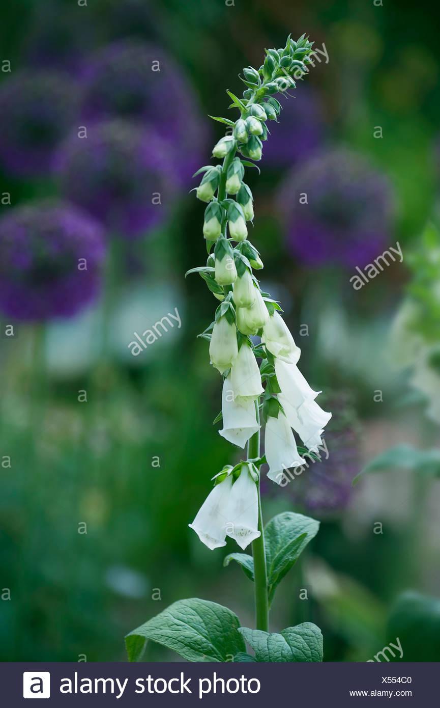 Foxglove Digitalis Purpurea Albiflora Tall Stem Of The White