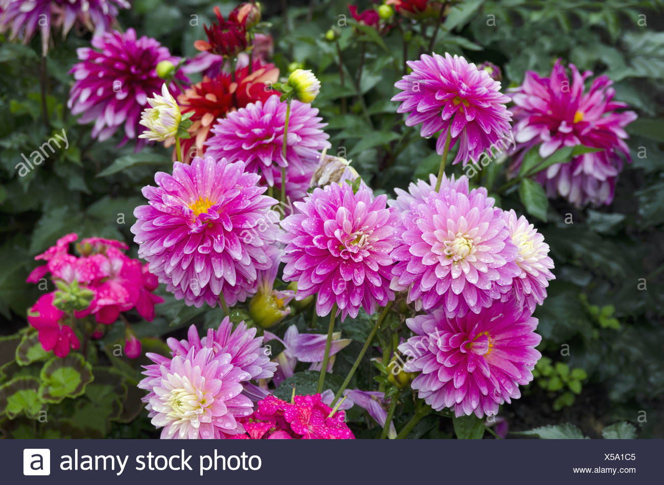 A Bunch Of Colorful Dahlia Flowers Herbaceous Perennial Plant