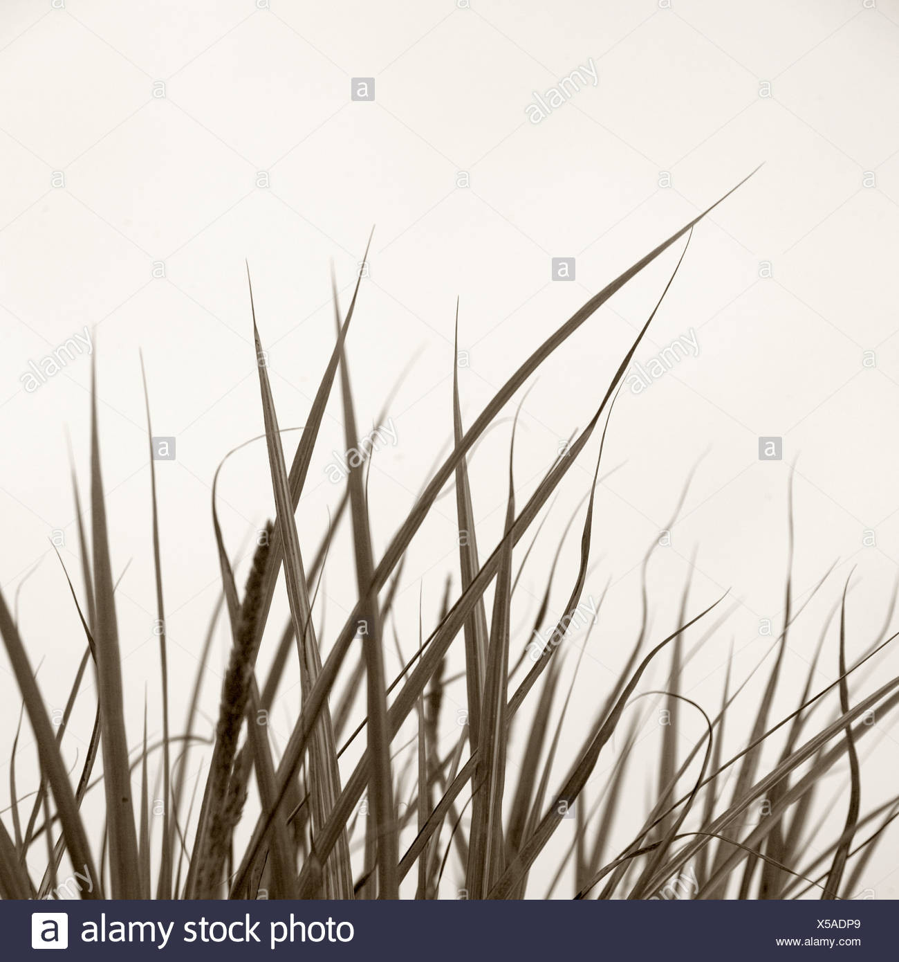 tall grass silhouette. Tall Grass - Stock Image Silhouette