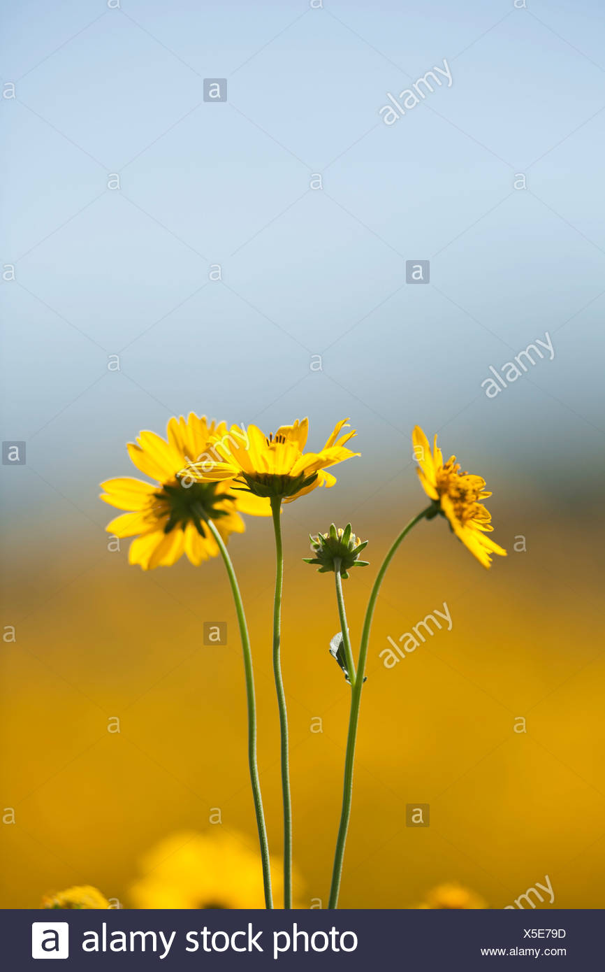 Yellow Flowers Against Soft Background Of Blue Sky And Yellow Flower