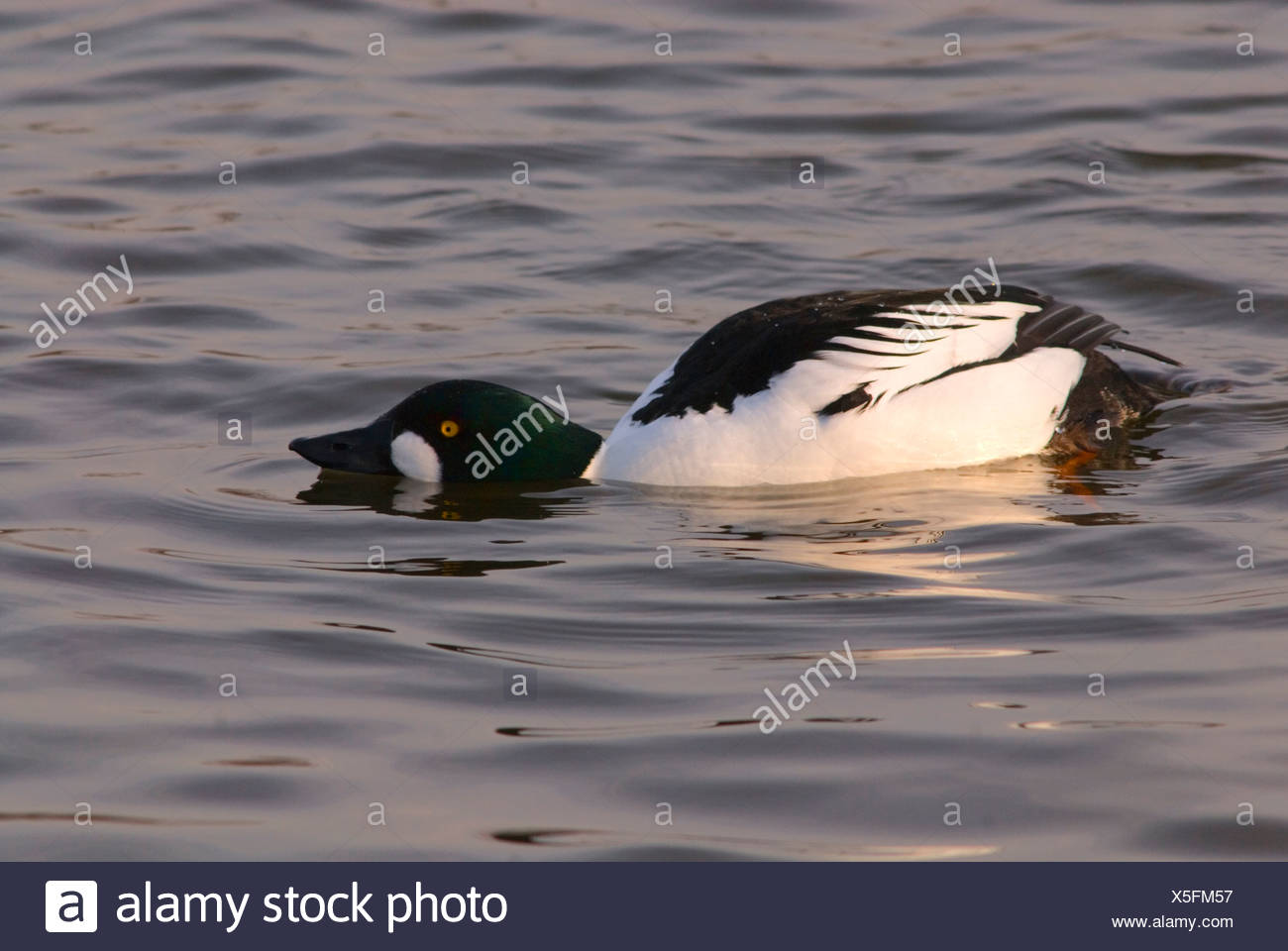 duck mating behavior