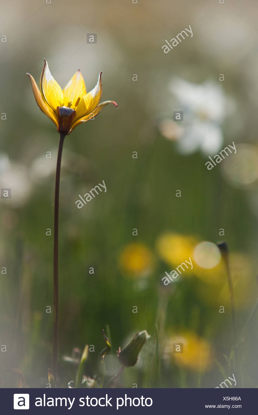 Single Wild Yellow Crocus Against White And Yellow Flower Background