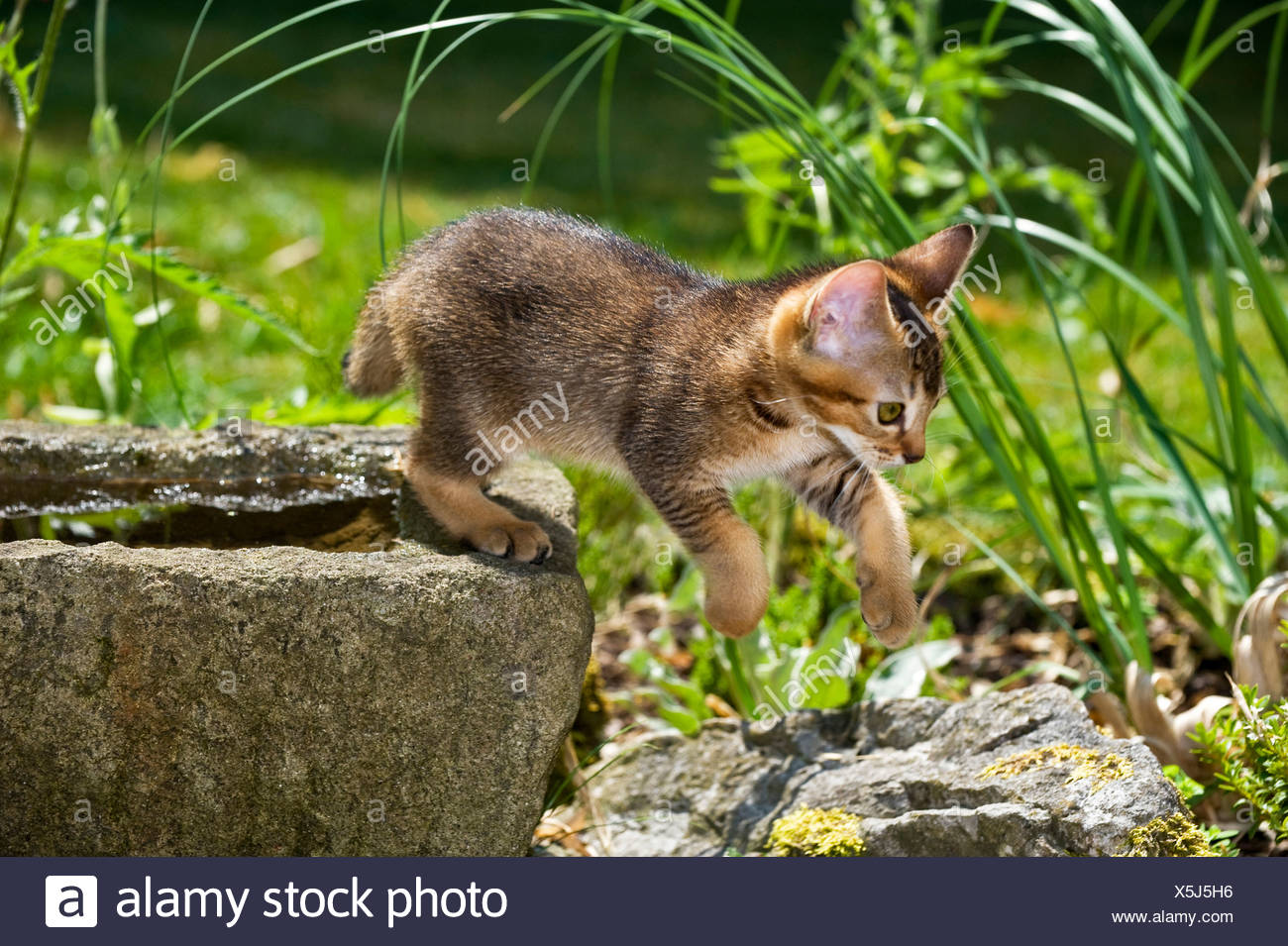 Abyssinian Cat Jumping