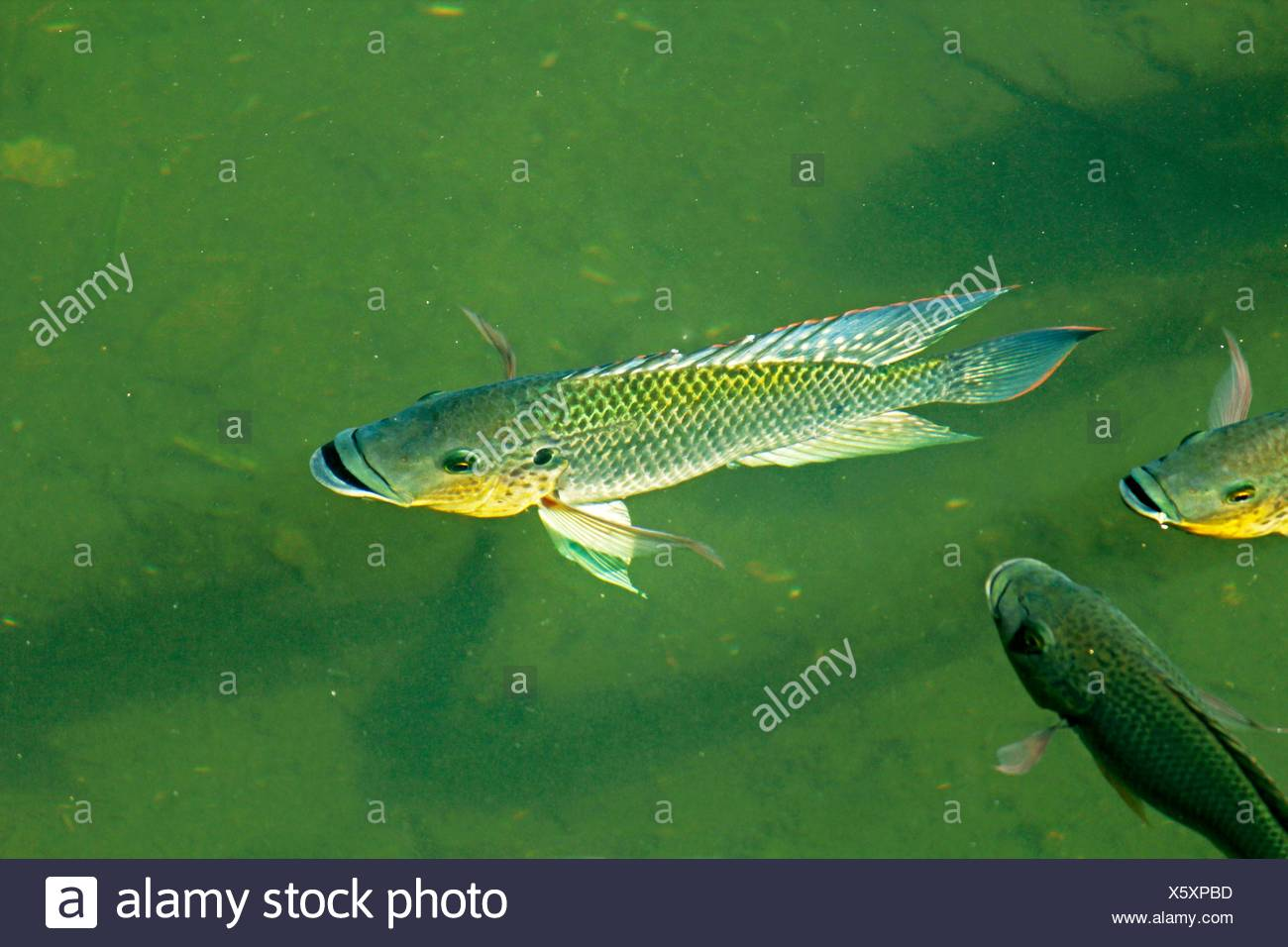 Blue Kurper Mozambique Tilapia Oreochromis Mossambicus Fishes In Water Pond Pune Maharashtra India