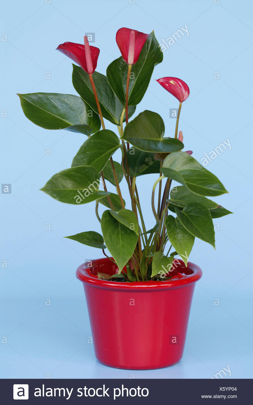 Flamingo lily genus anthurium plant in pot stock photo flamingo lily genus anthurium plant in pot izmirmasajfo