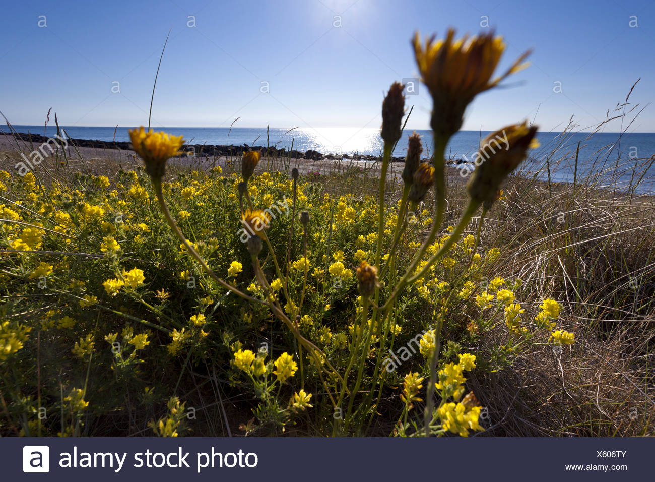 Sickle alfalfa sickle medick yellow lucerne yellow flowered sickle alfalfa sickle medick yellow lucerne yellow flowered alfalfa medicago falcata medicago sativa ssp falcata blooming at the coast together with mightylinksfo