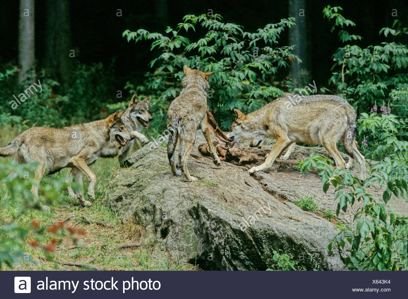 wolf gray wolf wolf animal canis lupus wolves group prey food