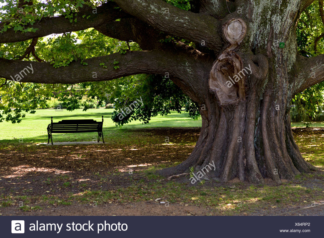 A Park Bench Under A Huge Old Elm Ulmus Glabra In Hagley Park