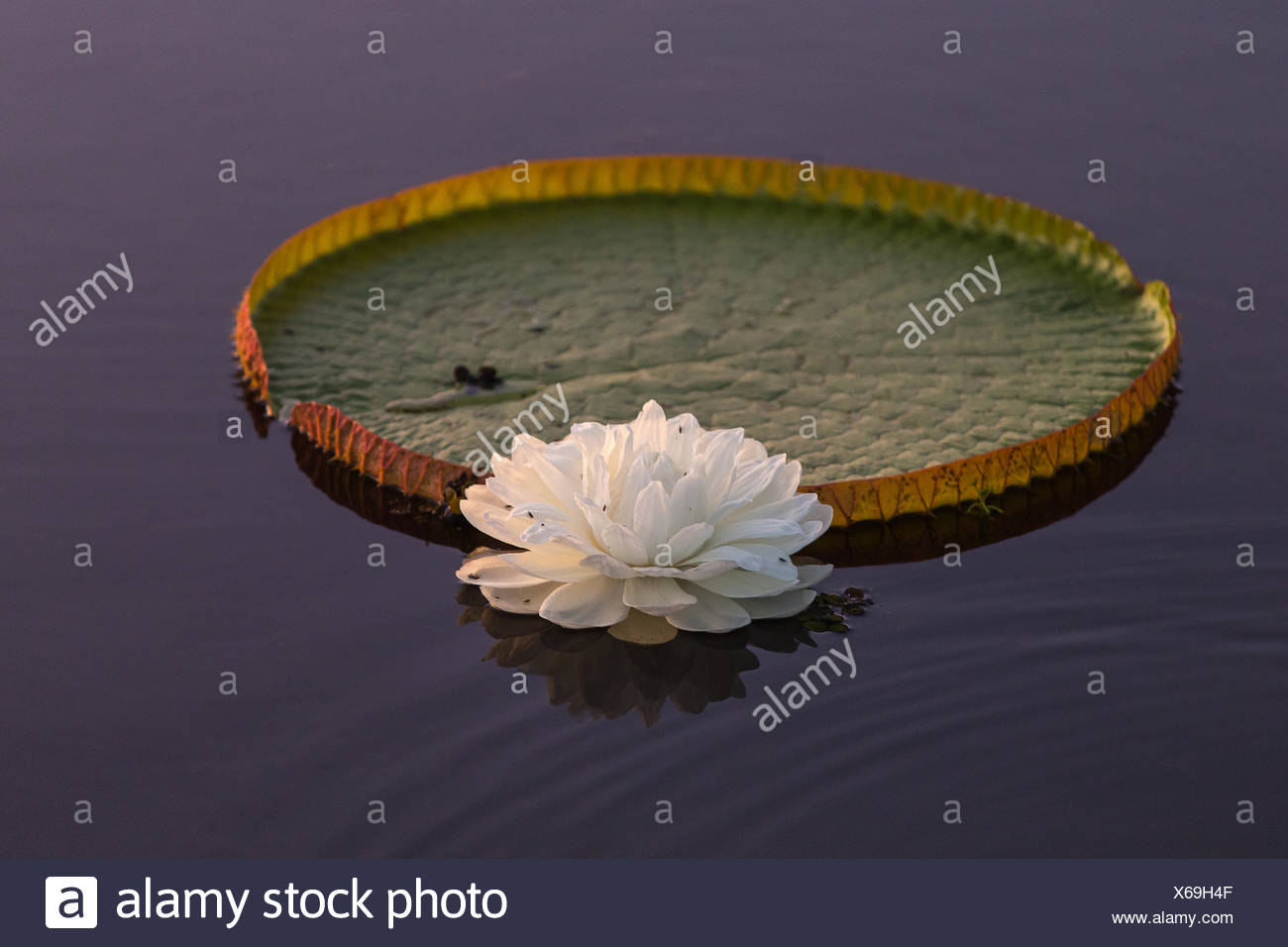 Giant lily pad and lotus flower in the pantanal region of brazil giant lily pad and lotus flower in the pantanal region of brazil izmirmasajfo